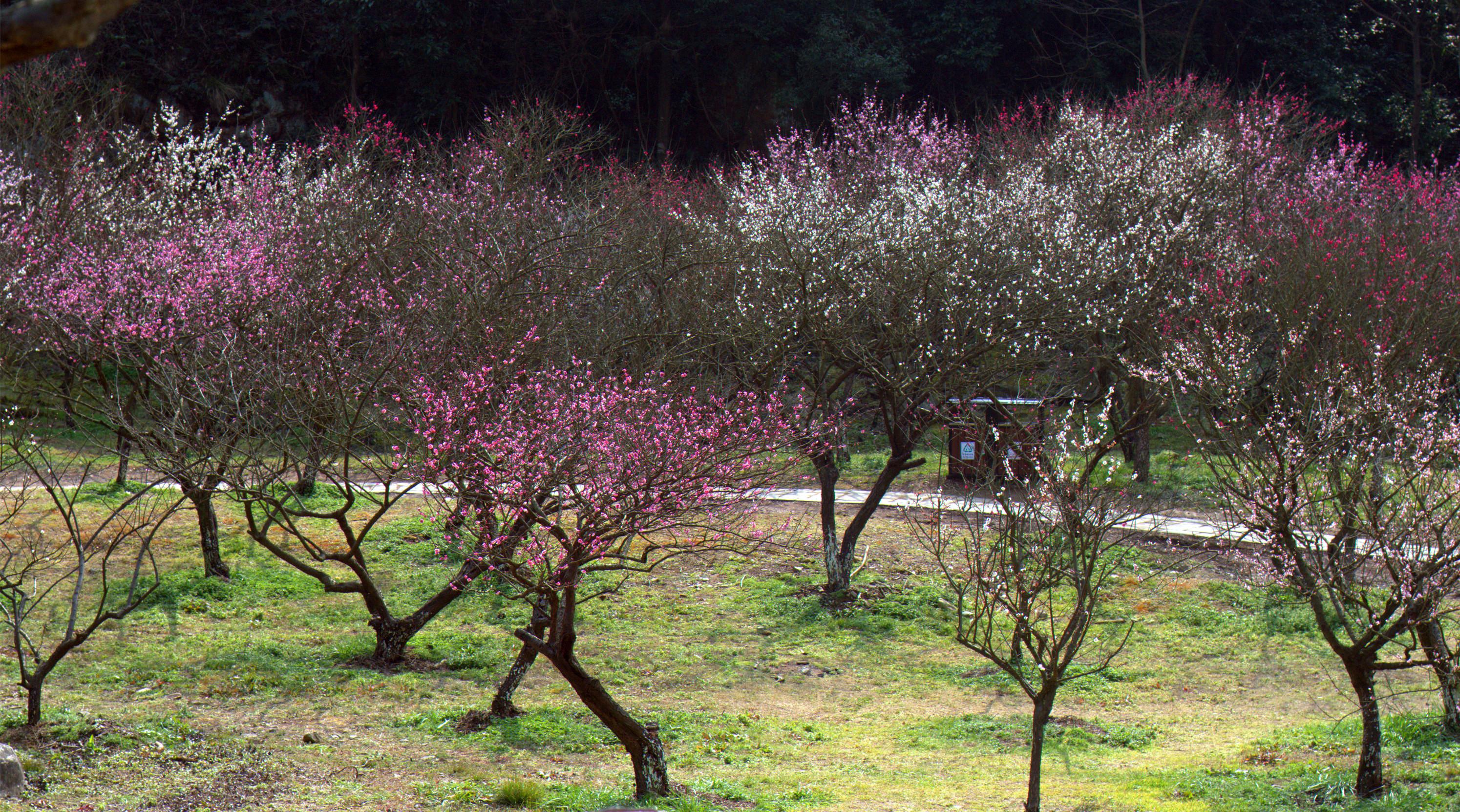 九峰梅红,身边的美景。